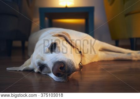 Old Dog Resting At Cozy Home. Tired Labrador Retrivere Lying Down And Looking At Camera.