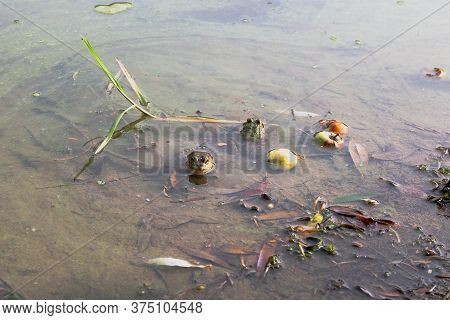 Two Frogs In A Lake. One Frog Is Looking Directly To The Camera The Other Is Facing Back. Fallen App