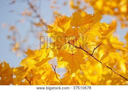 Folhas de bordo amarelo contra o céu