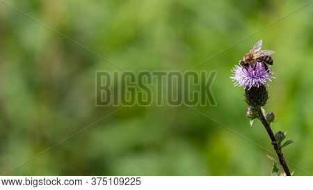European Honey Bee (apis Mellifera) Collecting Pollen From Blooming Flowers Of Welted Thistle (cardu