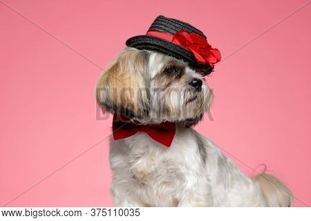 cute shih tzu doggy wearing red bowtie and hand, looking to side and standing on pink background
