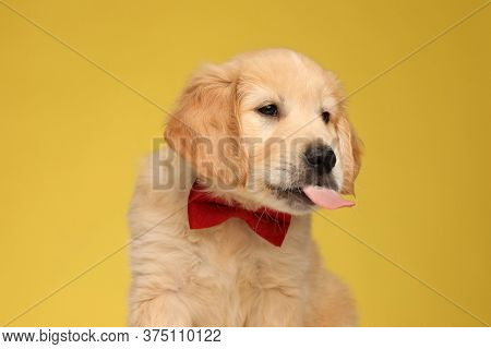 cute labrador retriever dog looking to side and panting, wearing red bowtie and sitting on yellow background
