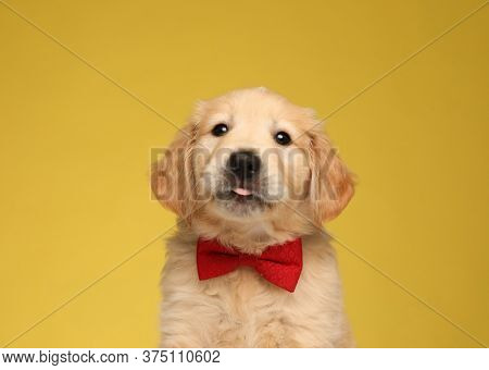 cute labrador retriever dog wearing bowtie and panting on yellow background