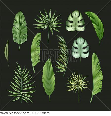 Realistic Colorful Tropical Monstera, Banana Palm Leaves And Monstera Vector Set. Jungle Botanical S