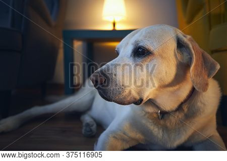Old Dog Resting At Cozy Home. Labrador Retrivere Lying Down Against Illuminated Living Room.