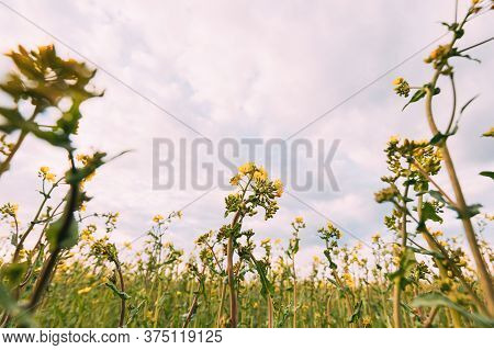 Close Up Of Blossom Of Canola Yellow Flowers Under Cloudy Sky. Rape Plant, Rapeseed, Oilseed Field M