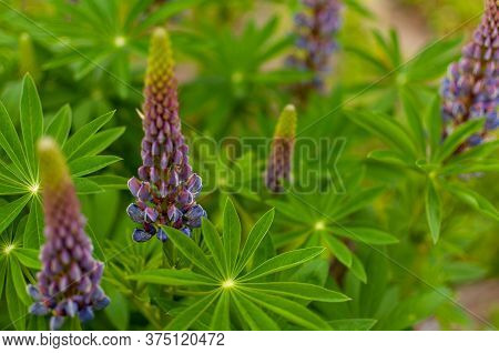 Blooming Violet Lupine Flowers On Spring Sunny Day. Lupinus Polyphyllus.