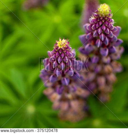 Blooming Violet Lupine Flowers On Green Blurred Leafy Background. Lupinus Polyphyllus.