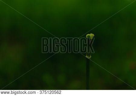 Tulip Pistil With No Petals On Dark Green Blurred Background. Tulipa Triumph.