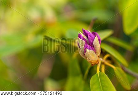 Spring Rhododendron Flower On A Green Floral Background With Copy Space. Rhododendron Catawbiense Gr