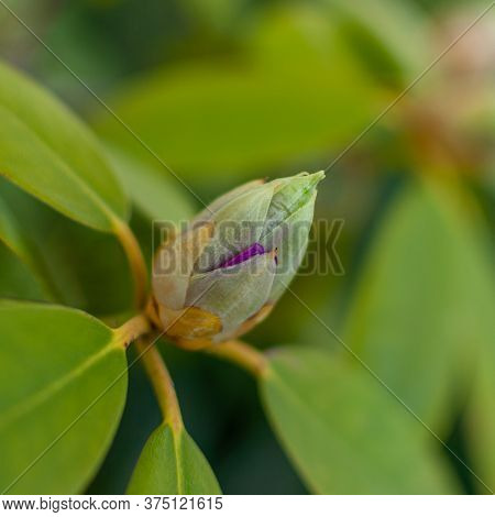 Fresh Rhododendron Bud On A Blurred Floral Background. Rhododendron Catawbiense Grandiflorum.