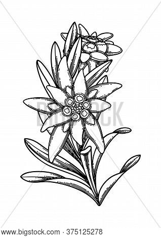 Graphic Branch Of Edelweiss Flowers And Leaves.
