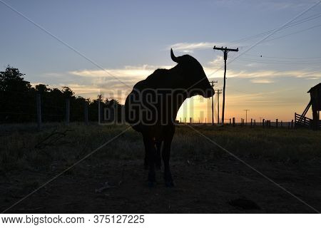 Cattle in a coffee farm in rural Brazil at sunset Cattle on a farm in the interior of Brazil, photographed against the light at dusk giving a silhouette aspect.