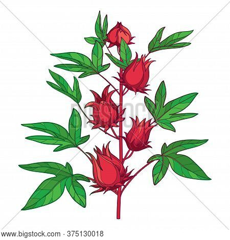 Vector Stem Of Outline Tropical Roselle Or Hibiscus Sabdariffa Or Carcade Plant With Red Fruits And