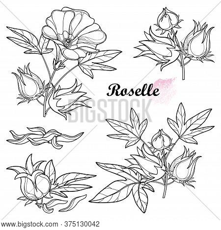 Vector Set Of Outline Tropical Roselle Or Hibiscus Sabdariffa Or Carcade Plant With Fruits, Leaf And