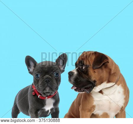 French bulldog cub wearing collar and curious Boxer looking at it on blue background