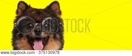 happy pomeranian spitz wearing glasses and panting on yellow background
