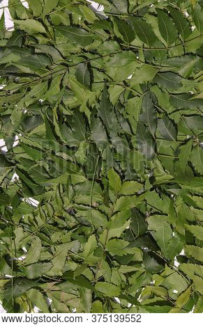 Neem Leaves Or Azadirachta Indica Leaves Background