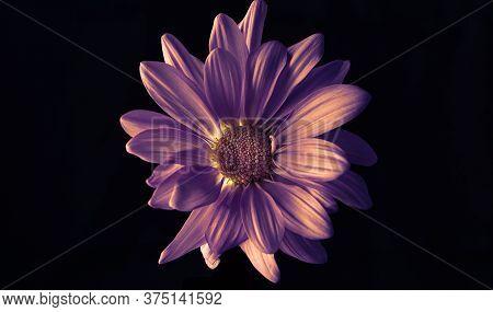 Vibrant Backlit Violet Daisy On A Black Background