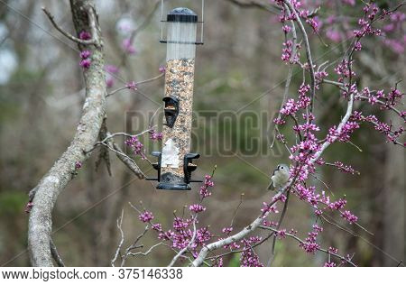 It's Springtime. Redbud Blooms And A Tufted Titmouse Indicate Its Spring Time In Missouri. The Backy