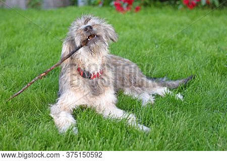 A Shaggy Dog Lying On The Grass Playing With A Stick In Its Mouth