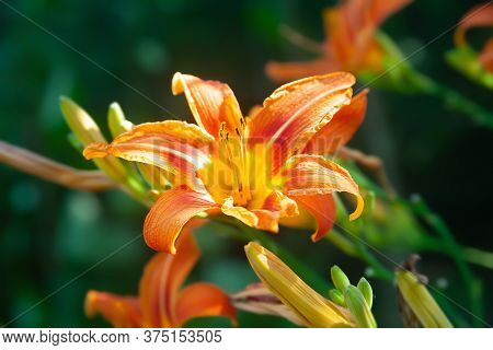 Garden Lily. Close-up Of Garden Daylily Flowers On A Flower Bed. Natural Background For Design. Sele