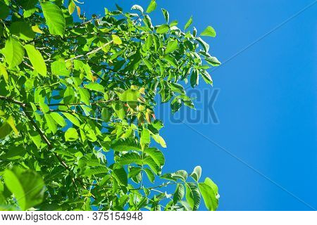 Foliage Of A Tree On A Background Of Blue Sky. Abstract Background With Space For Text. Template For