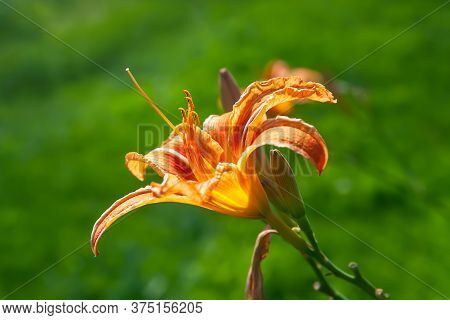 Orange Lily On A Background Of Foliage. Daylily Flower Blooms In The Garden. Natural Background For