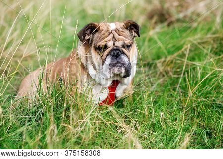 Red English/british Bulldog Dog With Tongue Out For A Walk Looking Up Sitting In The Grass