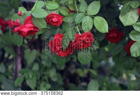 A lot of red roses on the bush closeup after rain. Red roses background. Landscape design. Care of garden roses shrubs. Red roses bouquet
