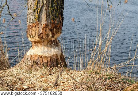 A Tree Nibbled To The Ground With A Beaver, Which Will Soon Collapse.