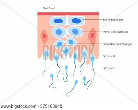 Spermatogenesis And Cell Division. Diploid Cells. Dna Replication And Human Reproductive System Conc