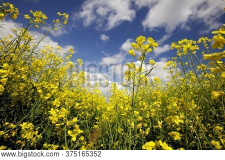 Field Of Oilseed And Rapeseed Plants With Blue Sky
