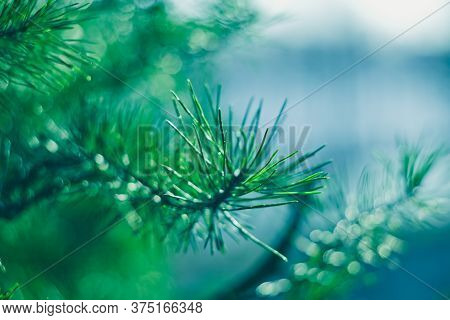 Abstract Turquoise Colorful Background. Picturesque Conifer Needles. A Close-up Of A Pine Branch. Na