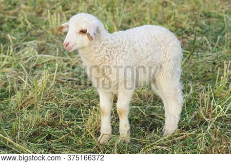 white lamb animal farm in Sicily a traditional food of Easter holiday