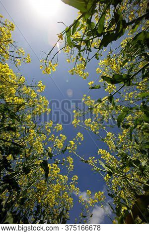 Worms Eye View Of Oilseed And Rapeseed Plants