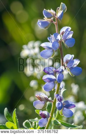 Lupin Flower