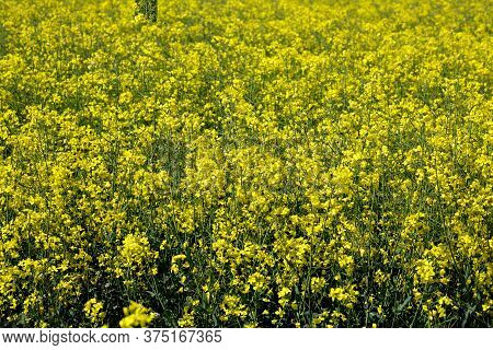 Field Of Yellow Oilseed And Rapeseed Plants