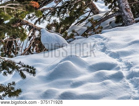 Willow Ptarmigan In Winter Plumage With Snow, Alberta, Canada