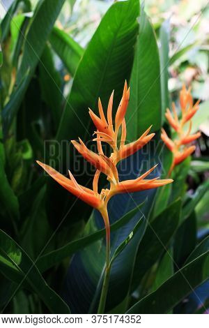 Bright Orange Heliconia Golden Torch, Heliconia Psittacorum With Leaves Is Tropical Flowers In The G