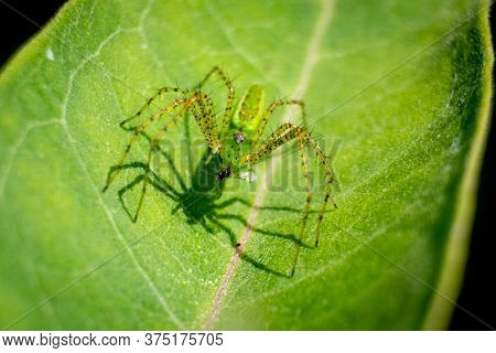 A Green Lynx Spider Captures And Devours An Insect For Lunch.