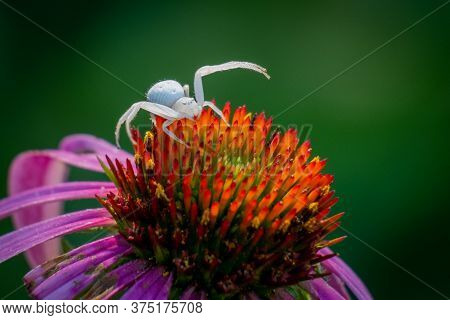 A Goldenrod Crab Spider In Its Defense Position With Its Front Four Legs Spread To Protect Its Conef