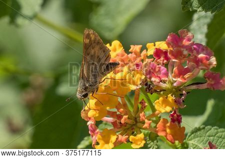 A Fiery Skipper Is Sipping Nectar From The Lantanas At Yates Mill County Park In Raleigh, North Caro
