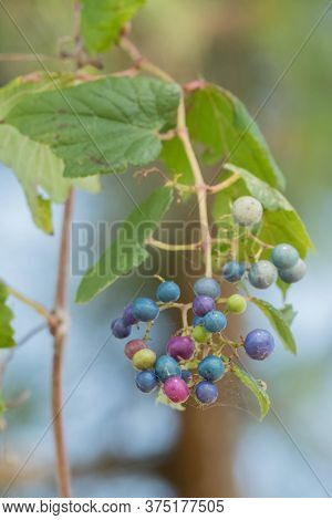 Close Up Of A Porcelain Berry Vine Growing In The Summer In The Piedmont Of North Carolina.