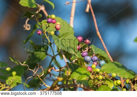 A Porcelain Berry Vine Growing In The Summer In The Piedmont Of North Carolina.