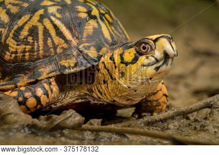 An Eastern Box Turtle, A Vulnerable Species, Makes His Way Through The Mud At Barfield Crescent Park