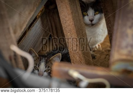 Feral Kitten Cautiously Watches From Within A Junk Pile, With Its Mother In The Background.