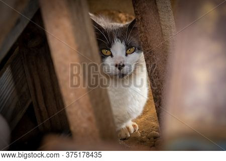 Black And White Feral Cat Cautiously Watches From Within A Junk Pile.