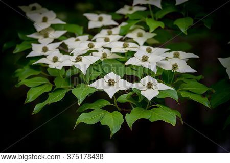 Blooms Of A Kousa Dogwood On A Dark Background. Crowder Park Of Wake County, North Carolina.