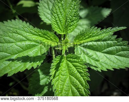 Top View Of Common Fresh Nettle Or Stinger Plant In Spring. Medicinal Plant. Stinging Nettle. Nature
